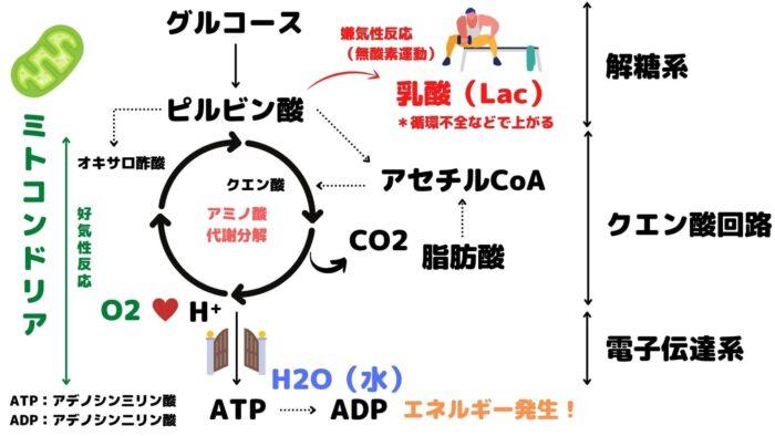 解糖系・クエン酸回路・電子伝達系