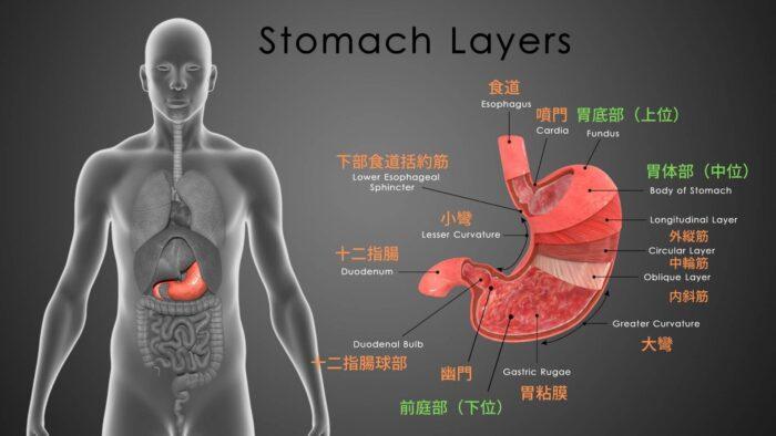 胃の解剖について