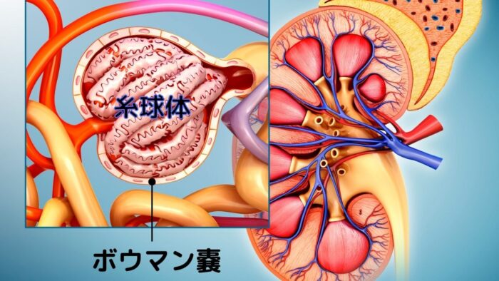 腎小体について