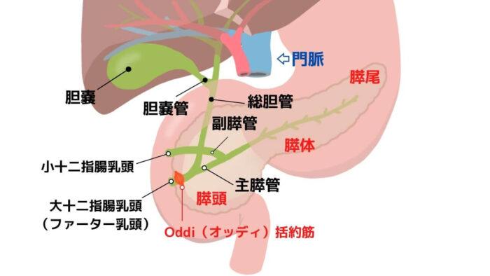 膵臓・胆道
