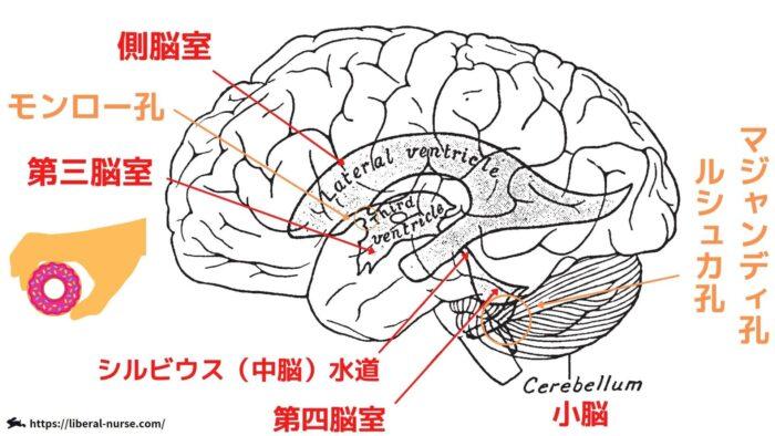 脳脊髄液・水道