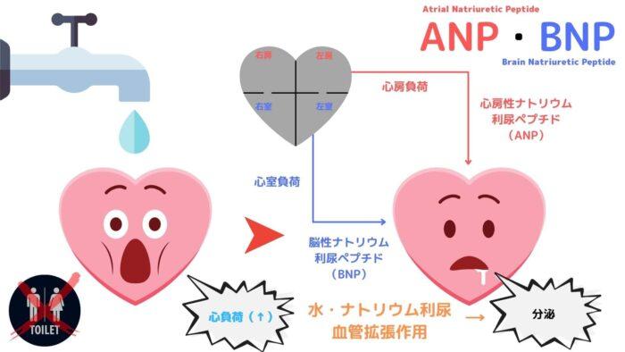 ANP・BNP・心房性ナトリウム利尿ペプチド・脳性ナトリウム利尿ペプチド